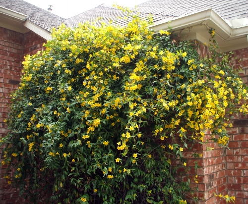 Elizabeth loupas spring has officially sprung our jessamina vine at least thats what the broadcasting legend calls itofficially its a yellow jessamine or carolina jessamine has burst into bloom mightylinksfo Choice Image