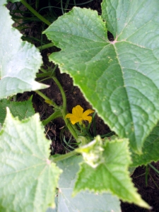 Cucumber blossom (from last year)