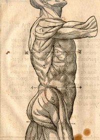 Early 17th-century drawing of human musculature showing the loins, by Jehan Cousin