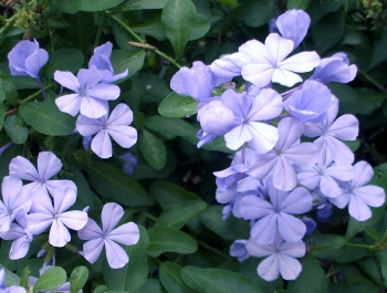 The plumbago, or skyflower, growing just outside our back door
