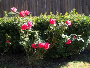 Roses in our backyard, reveling in the cooler days of November