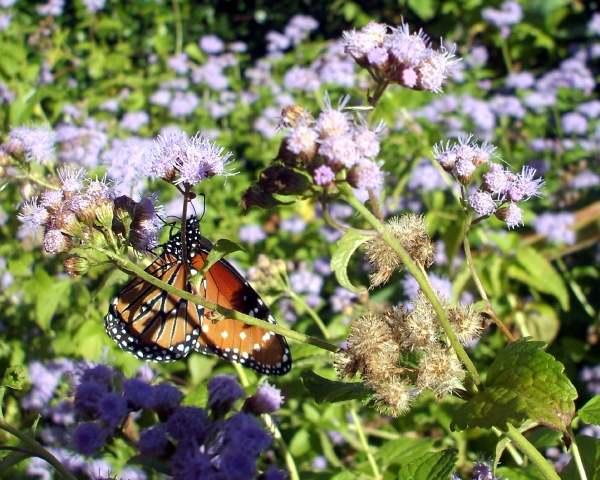 A butterfly in our ageratum bed